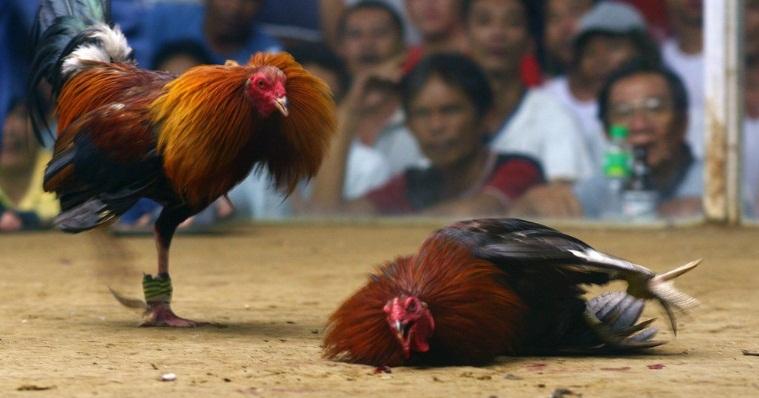 Panduan Lengkap Cara Bermain Sabung Ayam